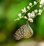 Blue Glassy Tiger butterfly in a garden Royalty Free Stock Images