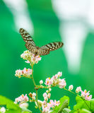 Blue Glassy Tiger butterfly in a garden Stock Images