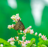 Blue Glassy Tiger butterfly in a garden Stock Photos