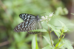 Blue Glassy Tiger Butterfly Royalty Free Stock Photos