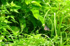 Blue glassy tiger butterfly perched on a flower, Zamami, Okinawa. Blue glassy tiger butterfly perched on a flower in front of beautiful greenery, Zamami, Okinawa stock photography