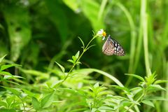 Blue glassy tiger butterfly perched on a flower, Zamami, Okinawa royalty free stock image