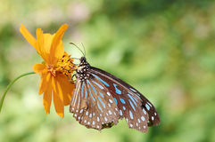 Blue Glassy Tiger(Ideopsis vulgaris macrina). Sits on a plant stock photos