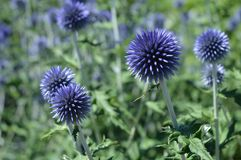 Blue globe thistlesx. Blue globe or hedgehog thistles echinops stock photos