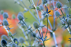 Blue Globe Thistle Royalty Free Stock Photography