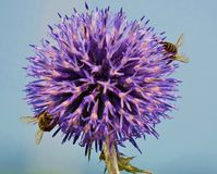 Blue globe thistle with 2 bees Royalty Free Stock Image