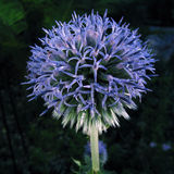 Blue Globe Thistle Stock Image