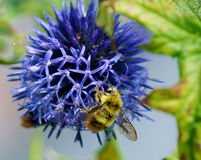 Blue globe thistle bumble bee Stock Images