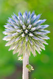 Blue globe thistle (Echinops) Royalty Free Stock Photo