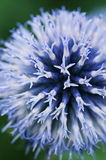 Blue Globe thistle  macro Royalty Free Stock Image