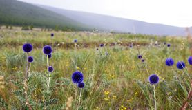 Blue Globe Thistle in Plains of Northern Mongolia. Vibrant blue globe thistle covers the meadows in a remote northern Mongolia mountain region stock photos