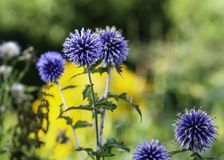 Blue globe thistles, Echinops bannaticus. Blue globe thistles Echinops bannaticus blooming in the autumn garden with colorful garden background, close up stock images