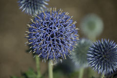 Blue Glow Iridescence. Closeup photo of Blue Glow Globe Thistles at different stages of growth stock images
