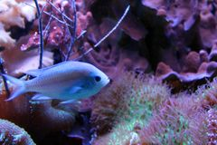 Blue Glowing Fish in the Natural Sea Coral Reef Royalty Free Stock Images