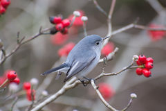 Blue-gnatcatcher(Polioptila caerulea) Royalty Free Stock Photo
