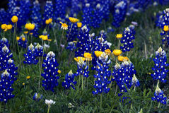 Blue & Gold. Gorgeous Texas Bluebonnets mixed with golden Coreopsis.  This beautiful floral arrangement was found along the highway in Central Texas near Royalty Free Stock Photos