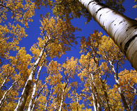 Blue and Gold Above. A blue and gold canopy of aspen leaves and sky Stock Photography