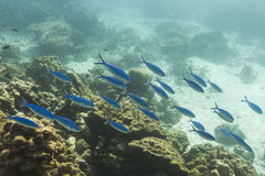 Blue and gold fusilier  at Similan island Royalty Free Stock Images