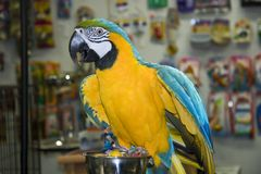 Blue & Gold Macaw. In a Bird Store stock images