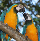 Blue & Gold Macaw. Two Blue & Gold Macaw - Ara arauna Stock Images