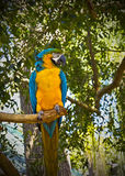 Blue and Gold Macaw. (Ara ararauna) on the tree branch stock photo