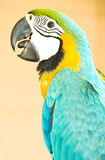 Blue and gold macaw. Portrait with vibrant colors Royalty Free Stock Images