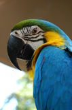 Blue and Gold Macaw. A portrait shot of a blue and gold macaw Royalty Free Stock Photos