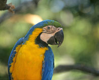 Blue and gold macaw. Portrait of a blue and gold macaw, ara ararauna, a common parrot in the rain forests of Panama and South America Royalty Free Stock Photo
