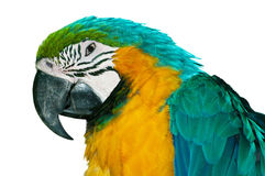 Blue-and-Gold Macaw. Colorful Blue-and-Gold Macaw (Ara ararauna) closeup, isolated on white background Stock Photography