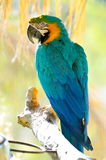 Blue-gold macaw Royalty Free Stock Photos