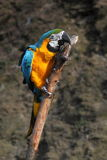 Blue and gold macaw Royalty Free Stock Photography