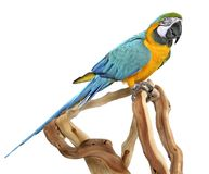 Blue & Gold Macaw Royalty Free Stock Images