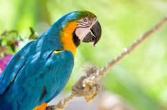 Blue-gold macaw Royalty Free Stock Photography