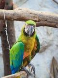 Blue and Gold macaw. Scientific name Ara ararauna bird Stock Photos