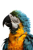Blue and Gold Macaw. Head and shoulders of a blue and gold macaw parrot after a bath, isolated on white Stock Photo