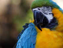 Blue and gold Macaw. At the zoo stock image