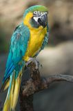 Blue and gold macaw. Sitting on a branch Stock Photos