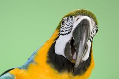 Blue and Gold Macaw. Portraits over a green background Royalty Free Stock Photos