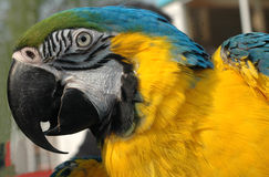 Blue and gold macaw. Heads of blue and gold macaw stock photos