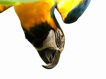 Blue & Gold Macaw. Blue & Gold Macaw on white background Stock Image