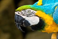 Blue and Gold Macaw. Peering into frame Royalty Free Stock Photography