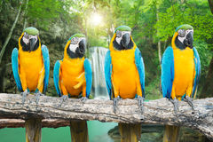 Blue-and-Gold Macaw against tropical waterfall background Royalty Free Stock Image