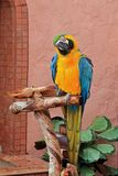 Blue and Gold Macaw (Ara ararauna) Royalty Free Stock Images