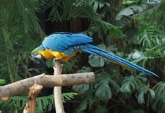 Blue and Gold Macaw (Ara ararauna) Royalty Free Stock Photo