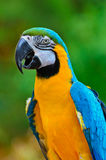 Blue and Gold Macaw, Ara ararauna Stock Photography