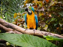 Blue-and-Gold Macaw  Ara ararauna Royalty Free Stock Photo