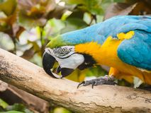 Blue-and-Gold Macaw  Ara ararauna Royalty Free Stock Photography