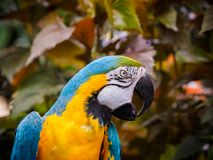 Blue-and-Gold Macaw  Ara ararauna Stock Image
