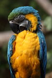 Blue and gold macaw (Ara ararauna) Stock Photos