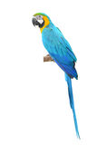 Blue and Gold Macaw aviary Royalty Free Stock Photography